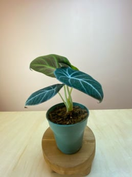 Shop Alocasia Black Velvet