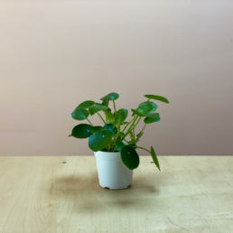 Shop Pilea Peperioides