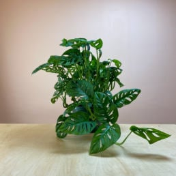 Shop Philodendron Swiss Cheese