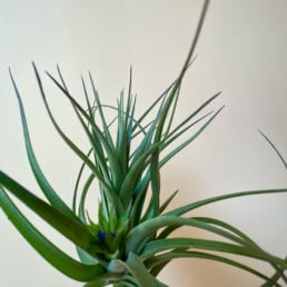 Shop Tillandsia