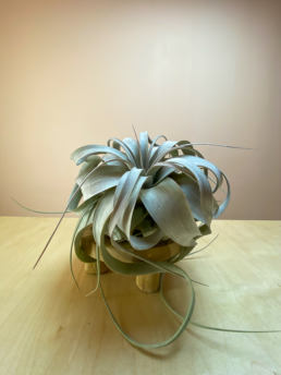 Shop Tillandsia xerographica